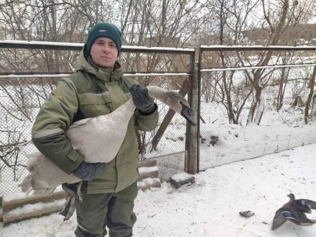 Спасенный в Удмуртии лебедь не сможет летать