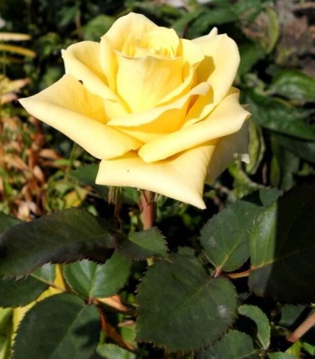 Уход за розами осенью для подготовки к зиме.