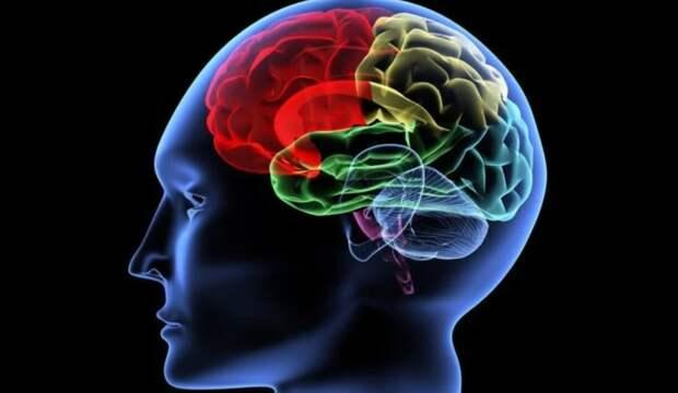 Нейробиологи впервые отследили путь мысли через головной мозг