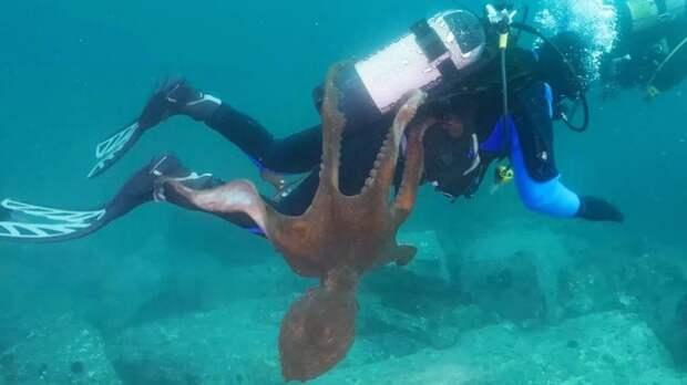 Почему у осьминогов 3 сердца?