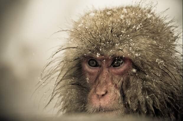 Царство снежных обезьян