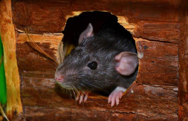 Больше без мышеловок: действенный способ избавиться от мышей на даче