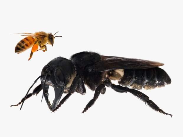 Пчела-листорез Megachile pluto - самая большая пчела