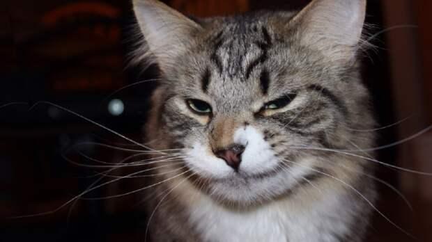 Десять самых здоровых пород кошек назвали эксперты