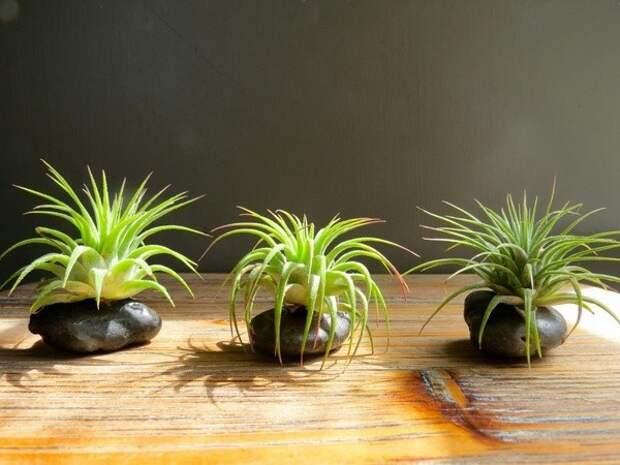 Воздушные растения в интерьере (Diy+Трафик)