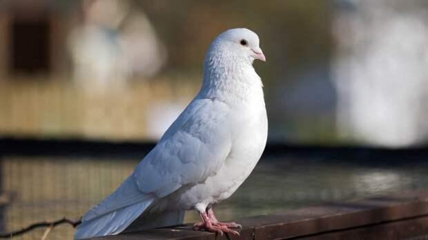 Ласточки, голуби, совы: что предсказывали птицы