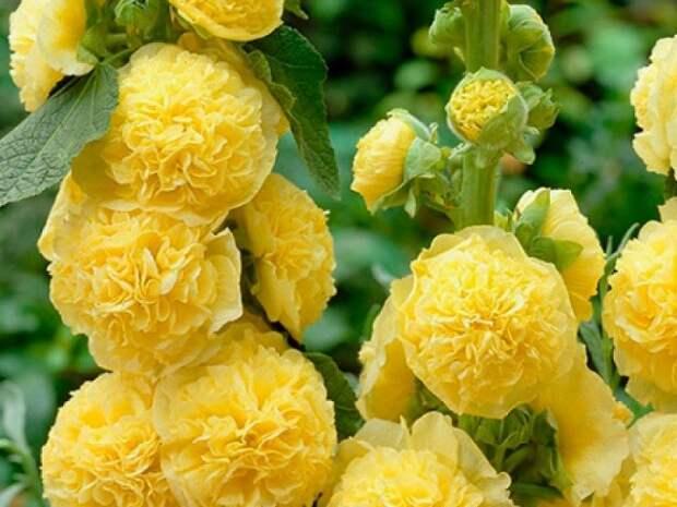 Мальва или шток-роза Мальва правильно называется шток-роза.