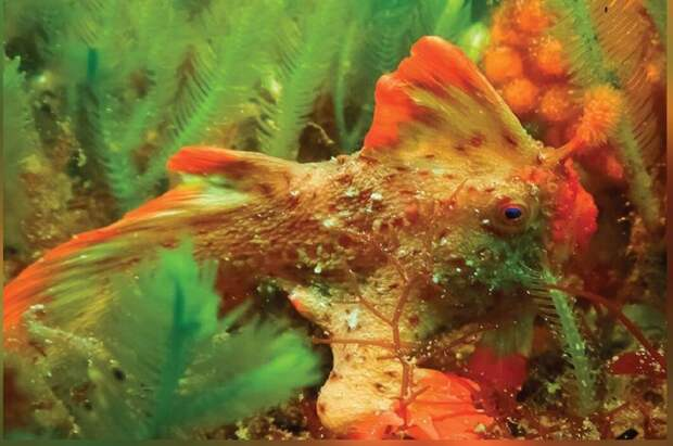 Обнаружена вторая популяция самой редкой в мире рыбы