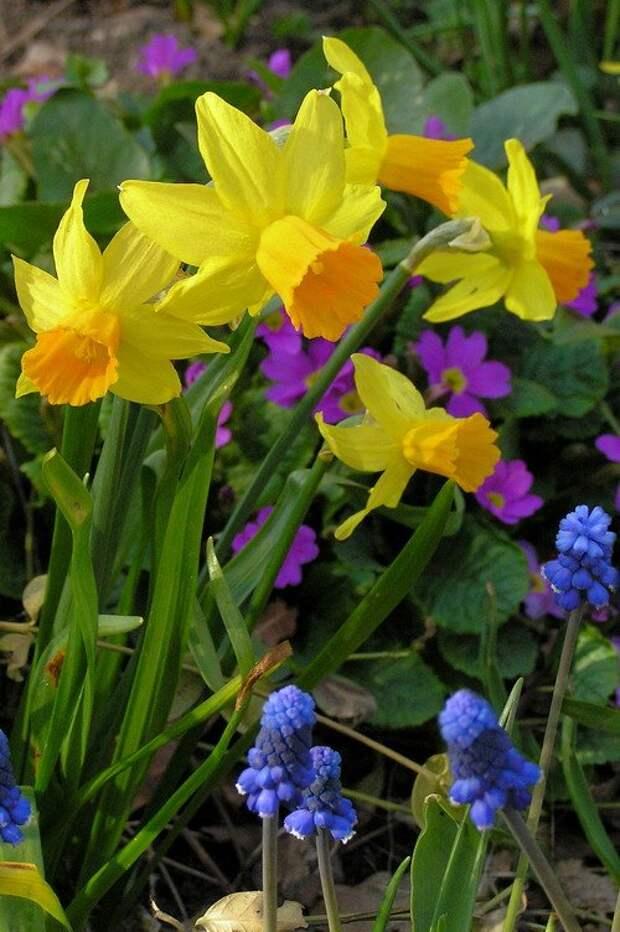 луковичные в цветниках