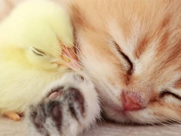 """""""Мимимишное"""" видео с котенком и цыпленком собрало около 50 млн просмотров"""