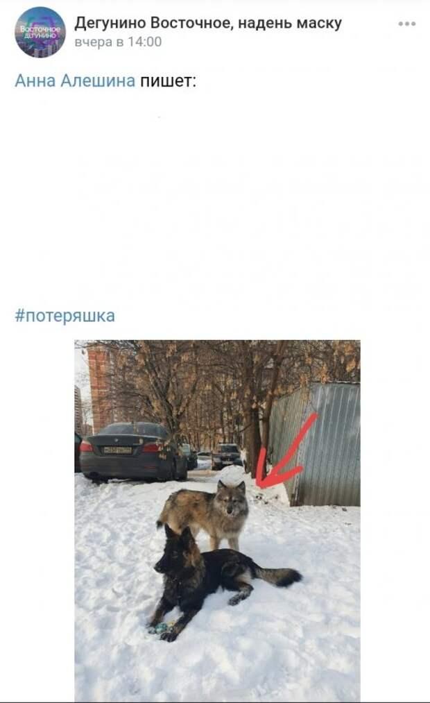 Фото дня: пес, похожий на волчонка, замечен в Дегунине