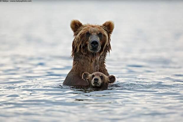 Как медведицы обучают своих детёнышей премудростям медвежьей жизни