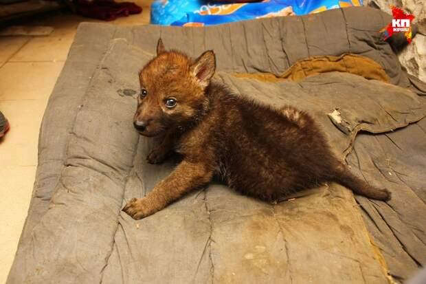 В смоленском приюте для собак выросла волчица Ханти