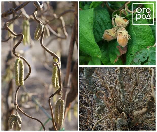 Лещина обыкновенная Конторта (Corylus avellana 'Contorta')