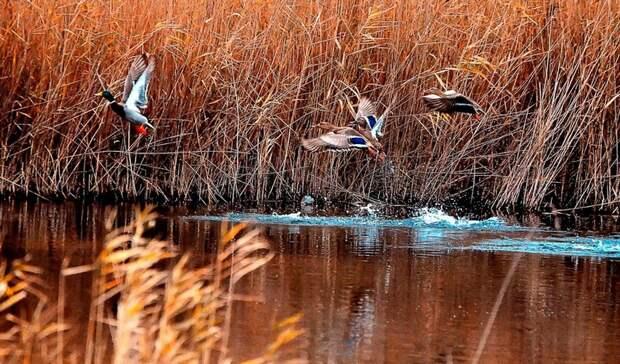 ВБелгородской области разрешили охотиться насерую цаплю идичь