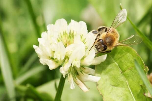 Основное предназначение лодыря-трутня заключается в размножении / Фото: pflanzenblog-in.de