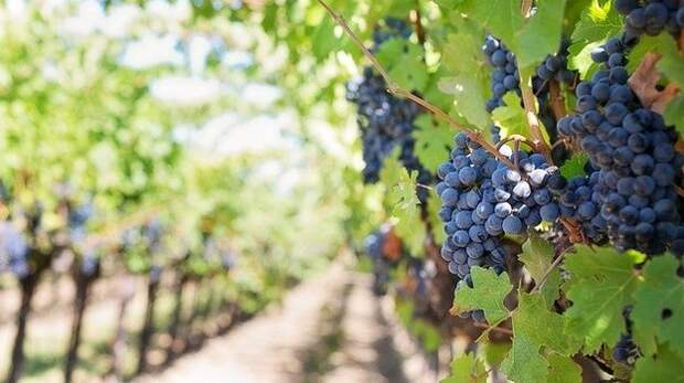 В Крыму площадь виноградников увеличилась на 115 гектаров