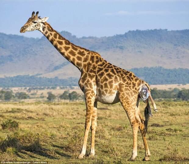Рождение жирафа фотографии, рождение жирафа в дикой природе, родился маленький жираф