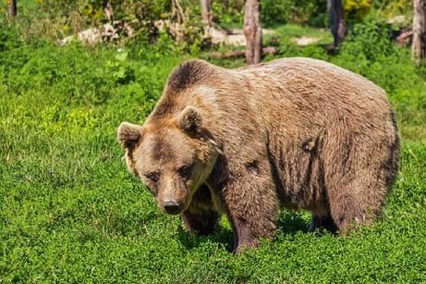 В национальном парке под Новосибирском медведь насмерть задрал подростка