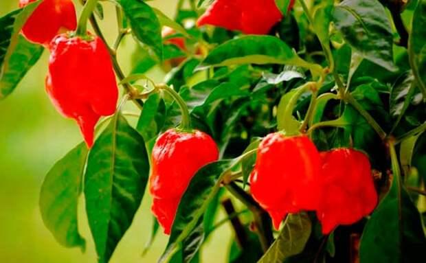 ягодоносный перец