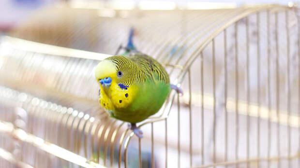 Выпускать попугая полетать лучше во второй половине дня