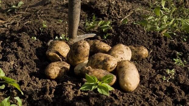 ВОренбуржье аграрии убрали овощи с35 процентов площадей