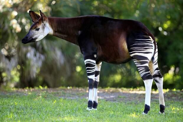 Самые интересные животные мира. Окапи