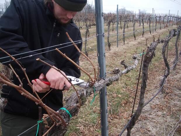 Восстановительная обрезка старого куста винограда